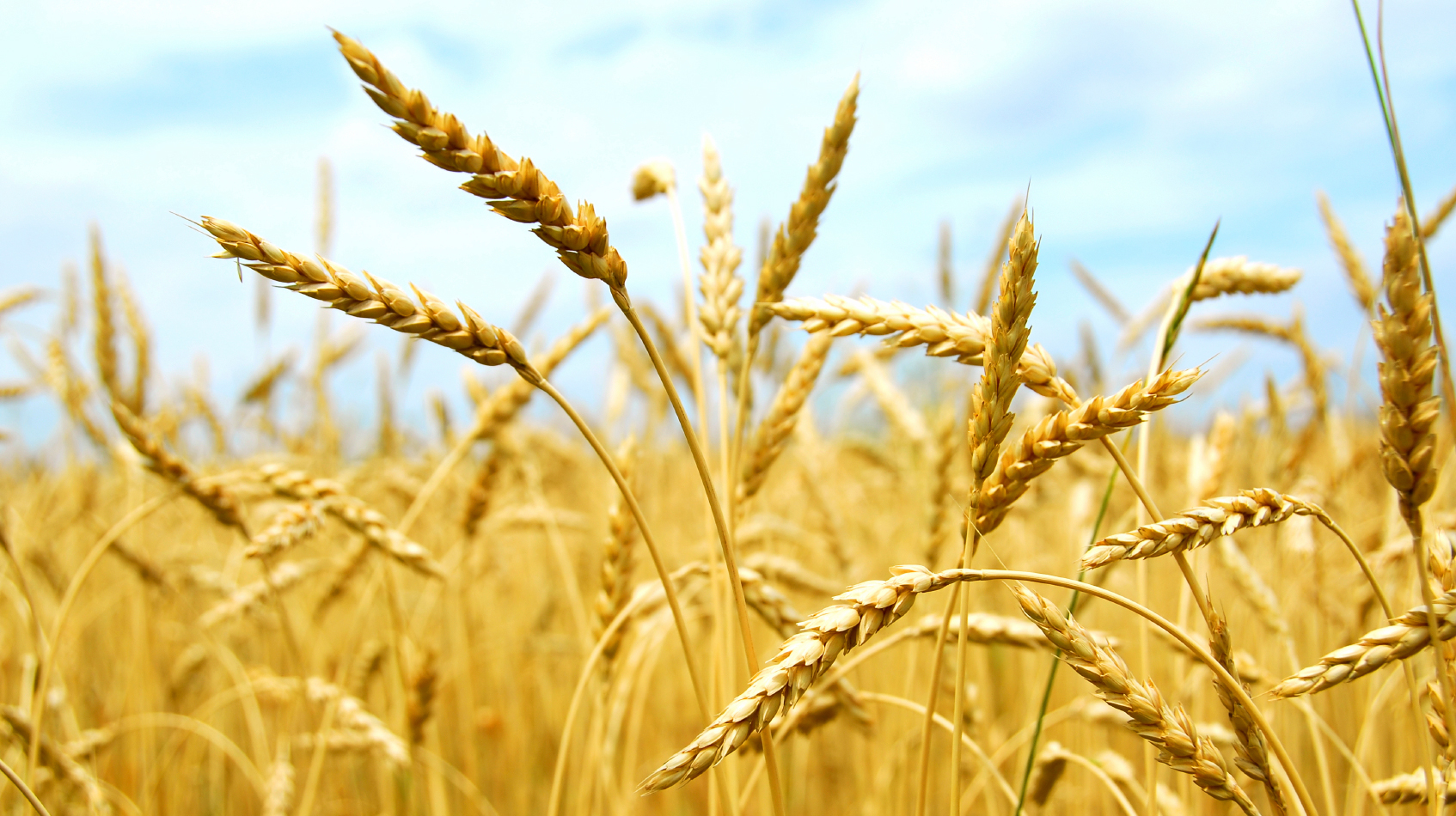 Wheat For Web